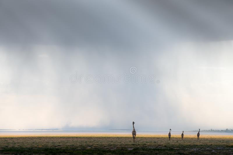 Four giraffe silhouettes walking in formation in the Etosha pan National Park with rain swirling in the background with dark rain royalty free stock photos