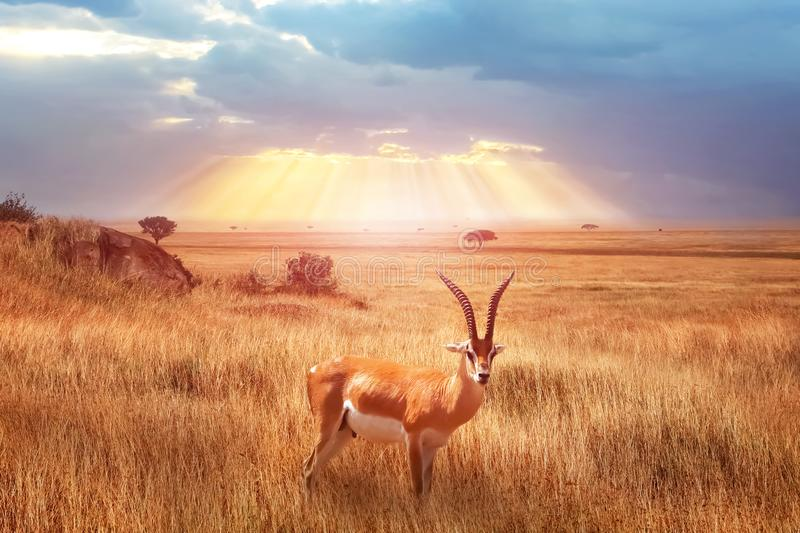 Lonely antelope Eudorcas thomsonii in the African savanna against a beautiful sunset with rays of light. African landscape. Serengeti national park royalty free stock photos