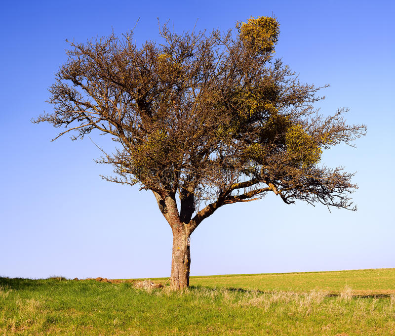 Download Lonely apple tree stock image. Image of lonely, landscape - 27246675