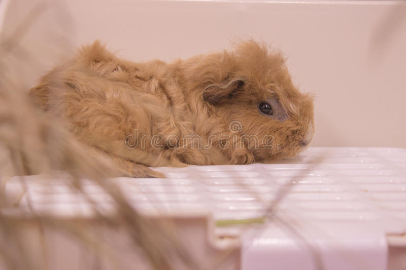 Lonely baby guinea pig in art portrait stock images