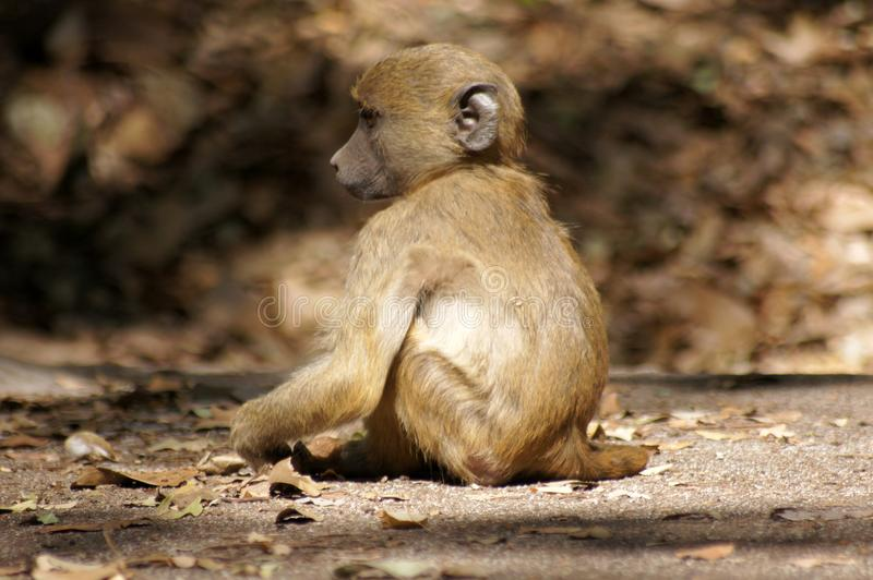 Lonely baby monkey royalty free stock images