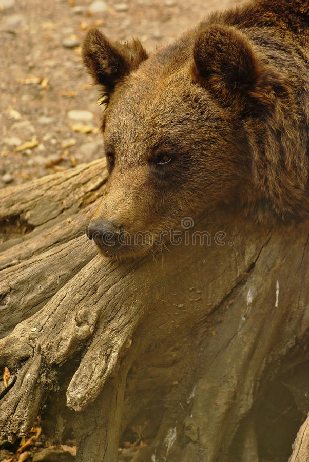 Download Lonely bear stock photo. Image of boredom, animal, outdoors - 26865302