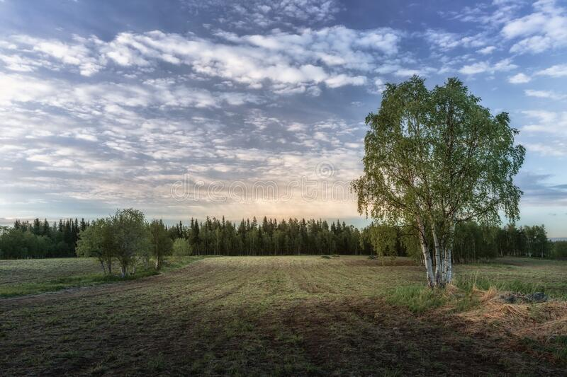 Lonely birch standing in a field under a blue sky. stock images
