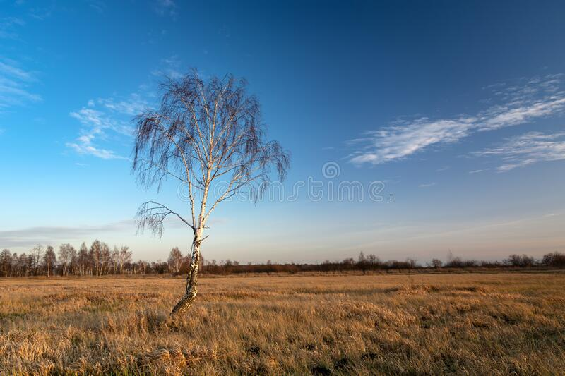 Lonely birch tree without leaves in the meadow and the sky after sunset in eastern Poland royalty free stock photo