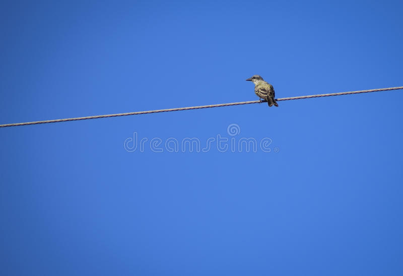 Lonely bird on a power cable stock images