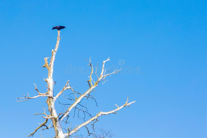 A lonely bird sits on a dry branch of a tree against a blue sky background_. A lonely bird sits on a dry branch of a tree against a blue sky background royalty free stock photos