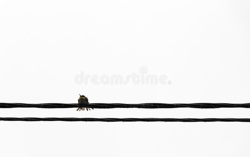Bird on the wire. A lonely bird sits on an electrical wire stock photo