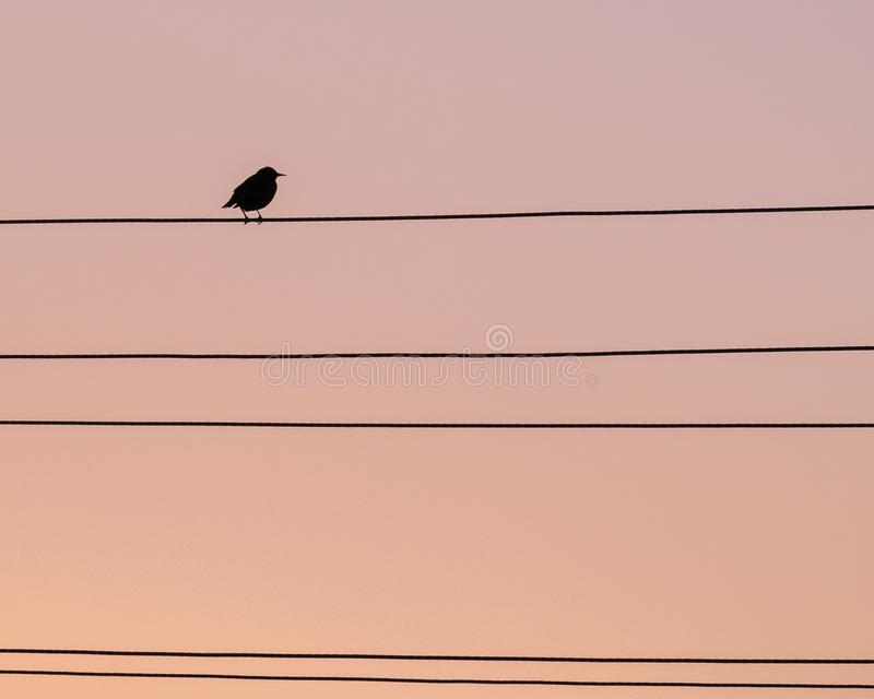 Lonely bird thrush on the wire. Against the sunset sky. silhouette. clear profile royalty free stock photo