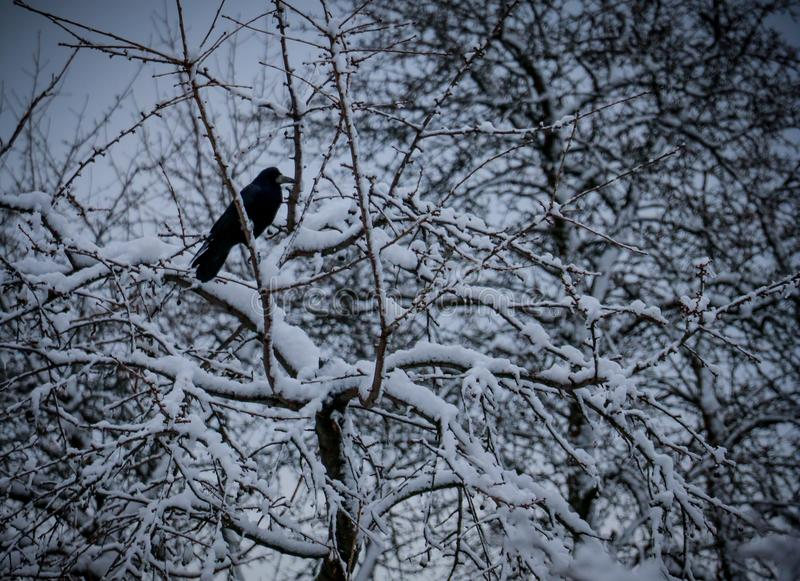 Lonely black crow stock photography
