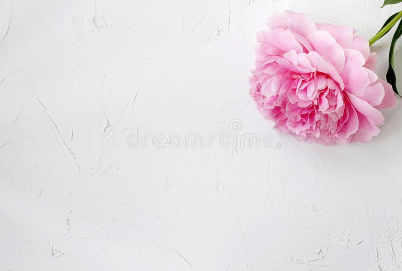 A lonely blooming pink peony on a rough white textural background. Blank for cards, wallpaper/ text area stock photo