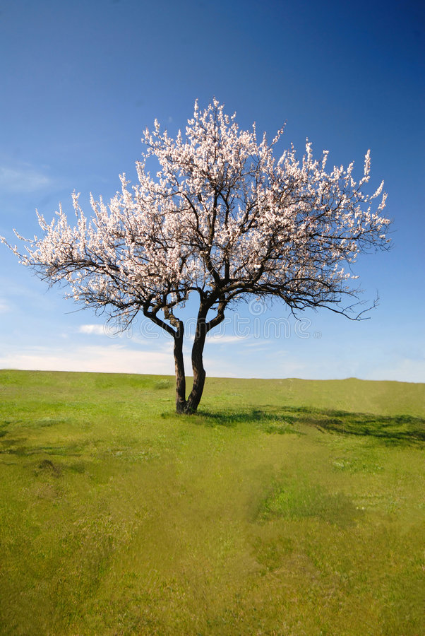 Download Lonely blossoming tree stock photo. Image of season, natural - 2296568