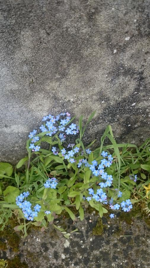 Lonely blue flowers close to wall. stock image