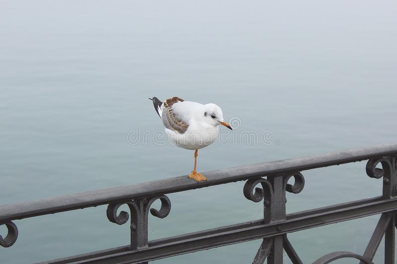 Lonely, brooding white seagull, standing on one leg on cast-iron railing, sparkling droplets of water entangled in cobweb against stock images