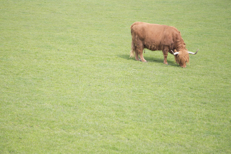 Lonely Bull grazing in field stock photo