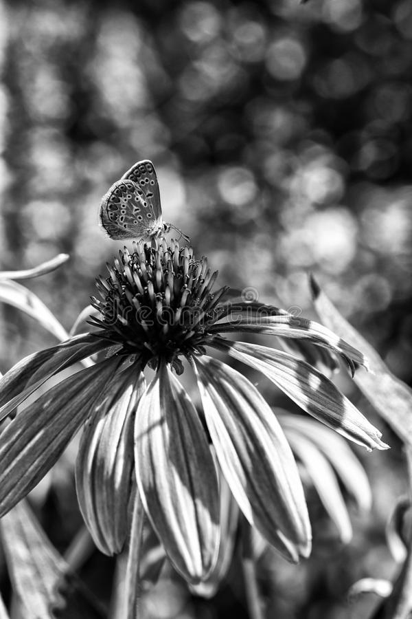 A lonely butterfly sitting on a beautiful flower in black and white colors royalty free stock photo