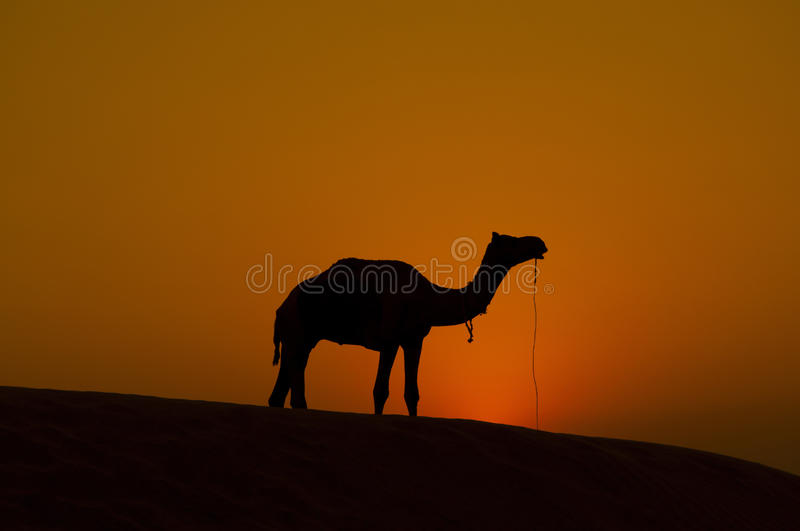 Download Lonely camel stock photo. Image of dawn, area, loneliness - 24943082