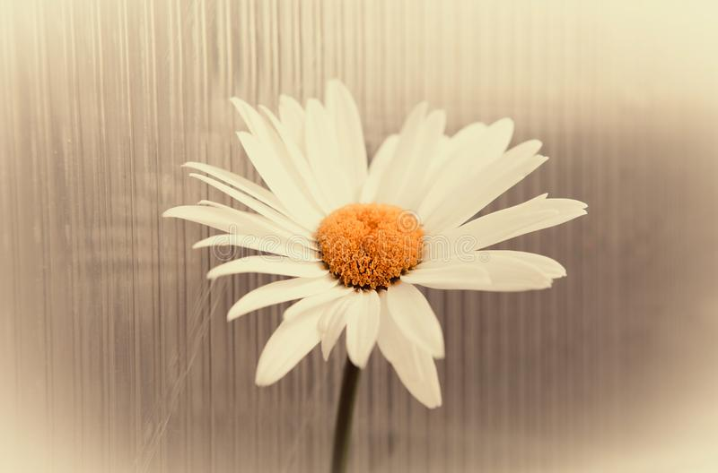 Lonely camomile on a light background. Flower for divination by love stock images