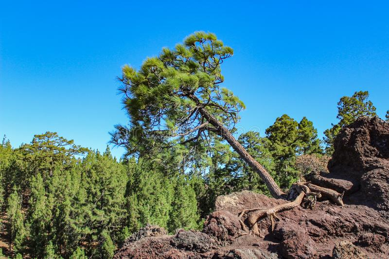 Lonely Canarian pine Pinus canariensis growing right out of the rock on lava fields. Mirador de los Poleos. Tenerife. Canary royalty free stock photo