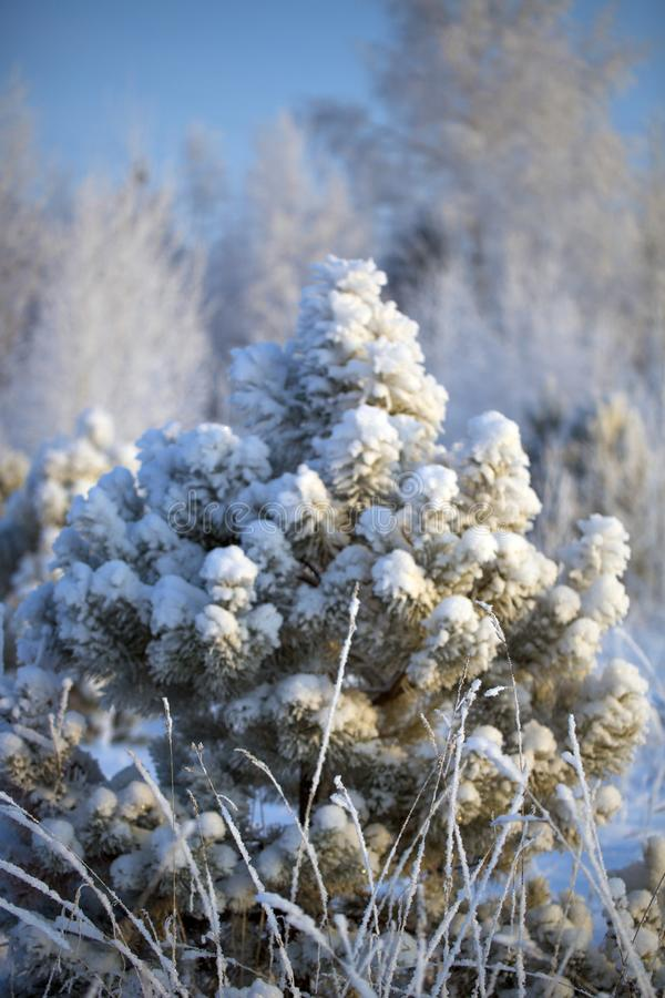 A lonely Christmas tree priporozhennaya snow in the woods. A lonely tree priporozhennaya snow in the forest. blue sky. December stock image