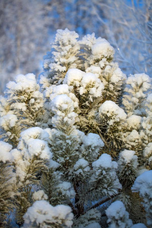 A lonely Christmas tree priporozhennaya snow in the woods. A lonely tree priporozhennaya snow in the forest. blue sky. December royalty free stock image