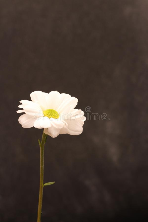 Lonely chrysanthemum flower isolated on dark background. Garden, bouquet, green, floral, yellow, design, petal, bunch, leaves, gift, cut, out, horizontal, soft royalty free stock photography