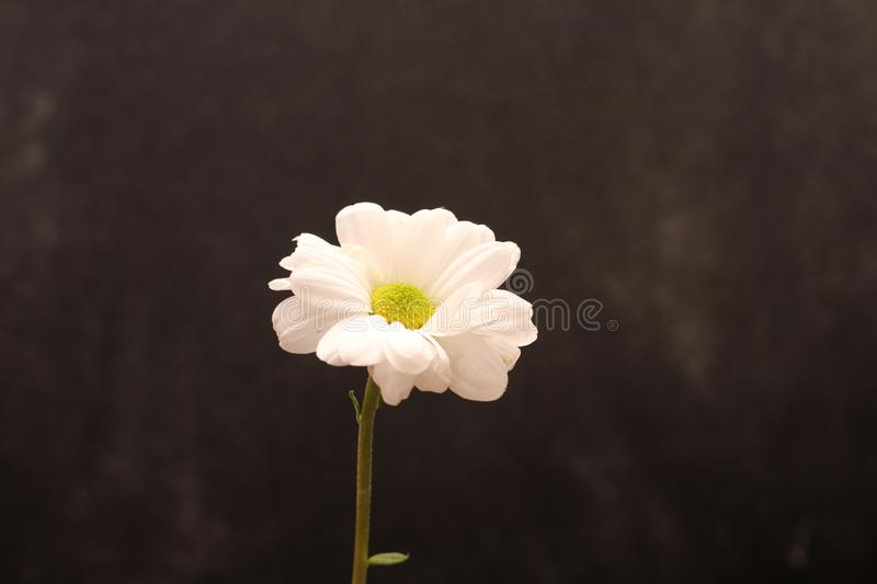 Lonely chrysanthemum flower isolated on dark background. Plant, daisy, garden, bouquet, green, floral, yellow, design, petal, bunch, leaves, gift, cut, out royalty free stock photography