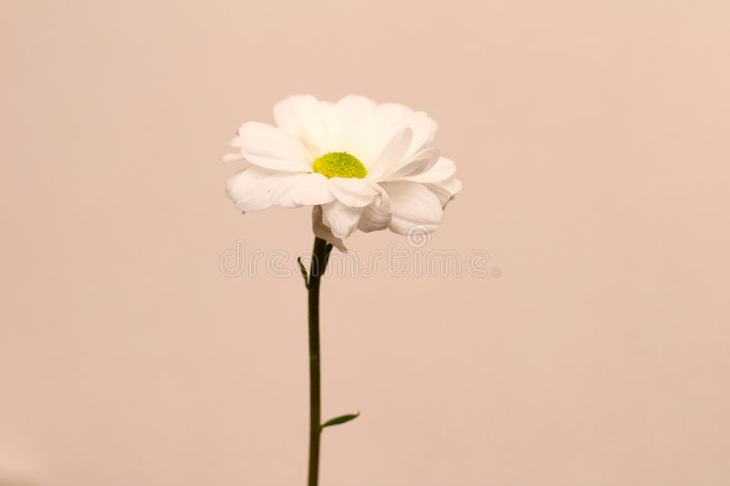 Lonely chrysanthemum flower isolated on peach background. Daisy, garden, bouquet, green, floral, yellow, design, petal, bunch, leaves, gift, cut, out royalty free stock photos
