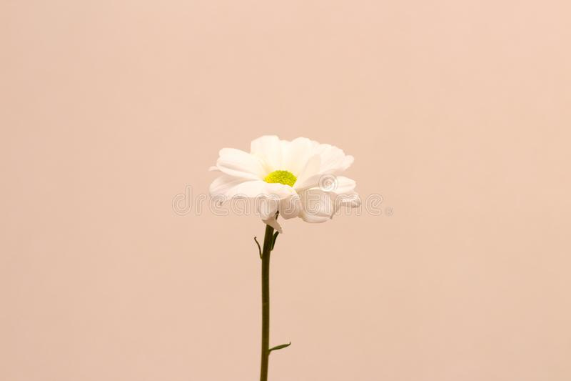 Lonely chrysanthemum flower isolated on peach background. Plant, daisy, garden, bouquet, green, yellow, design, petal, bunch, leaves, gift, cut, out stock photography