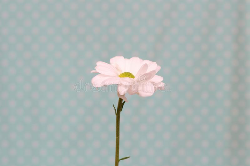 Lonely chrysanthemum flower isolated on polka dot background. Plant, daisy, garden, bouquet, green, yellow, design, petal, bunch, leaves, gift, cut, out stock photography