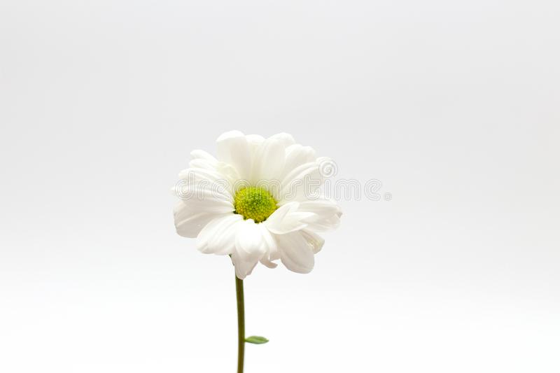 Lonely chrysanthemum flower isolated on white background. Daisy, garden, bouquet, green, floral, yellow, design, petal, bunch, leaves, gift, cut, out stock photo