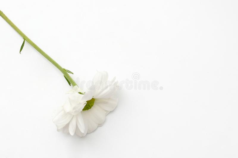 Lonely chrysanthemum flower isolated on white background. Plant, daisy, garden, bouquet, green, floral, yellow, design, petal, bunch, leaves, gift, cut, out stock images
