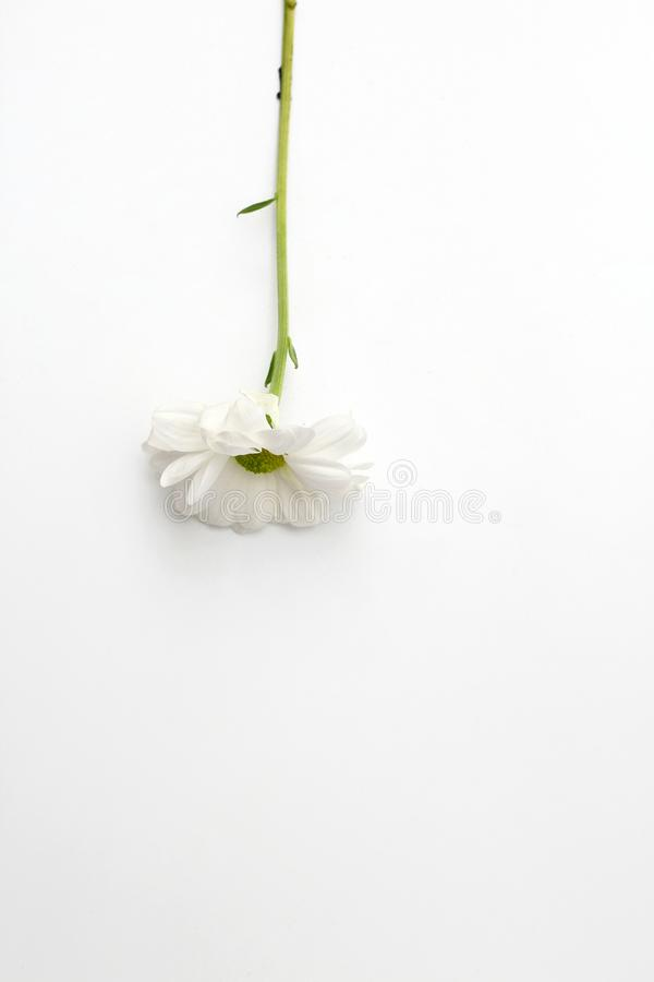 Lonely chrysanthemum flower isolated on white background. Plant, daisy, garden, bouquet, green, floral, yellow, design, petal, bunch, leaves, gift, cut, out royalty free stock images