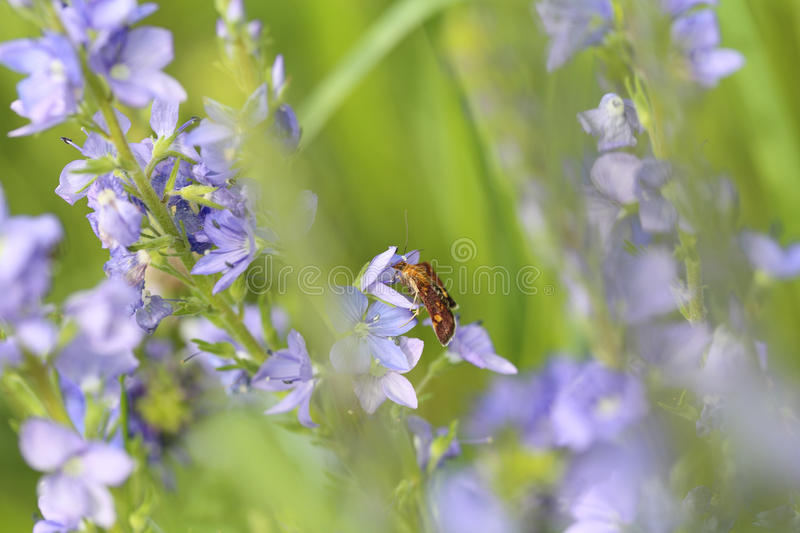 Lonely colorful butterfly on blue flowers of Veronica stock images