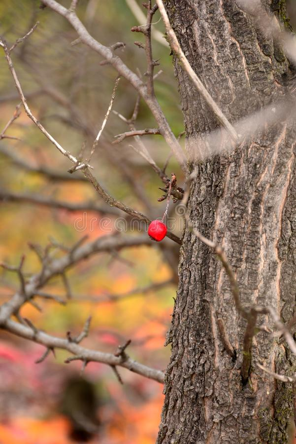 Lonely common hawthorn stock photography