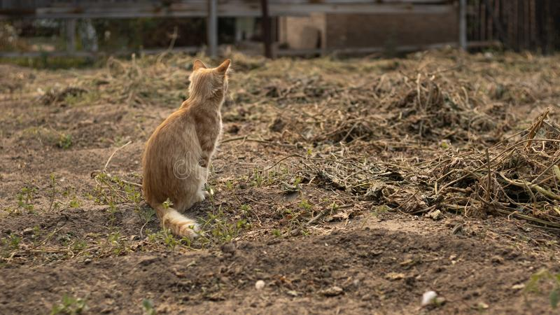 A lonely cute ginger cat saw someone. The pet is sitting on the ground and is bored. Farm life in the village.  stock image