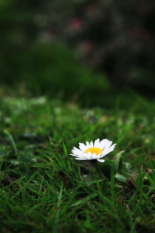 Lonely Daisy stock photos