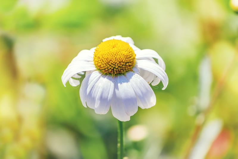 Lonely daisy in a field in a meadow. Lonely daisy in the field stock images