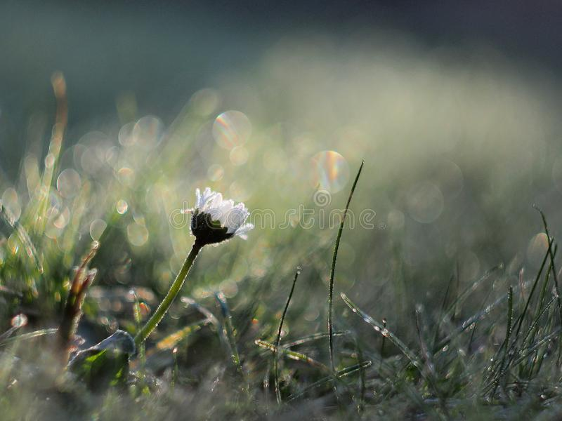 Lonely daisy flower. In field of dew covered grass royalty free stock images