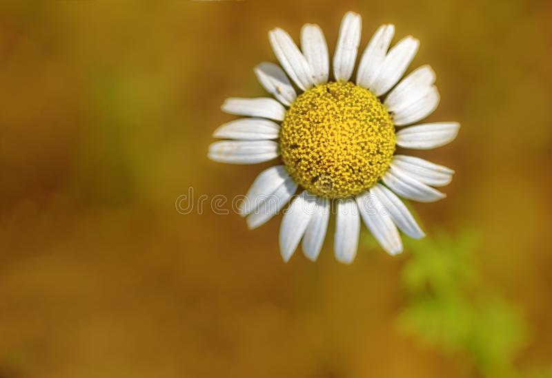 Lonely daisy flower. Yellow, flower, macro photography, yellow Flower, flower detail, lonely daisy flower, I make daisies, white petals, flower of the plain royalty free stock photography