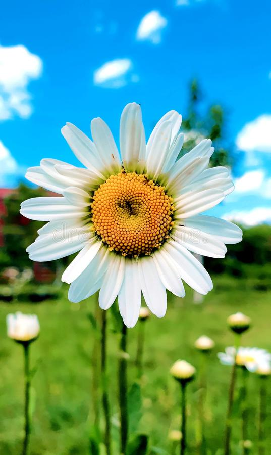 Lonely daisy. In the field stock image