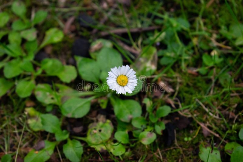 A lonely daisy. A lonely but happy daisy on forest floor stock photography