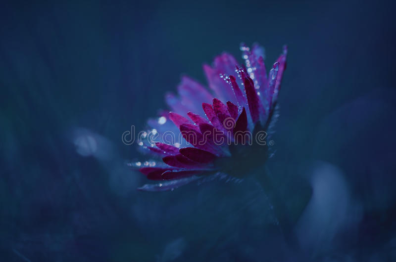 Lonely daisy on the meadow. Closeup photo of a lonely daisy on the meadow at night royalty free stock image