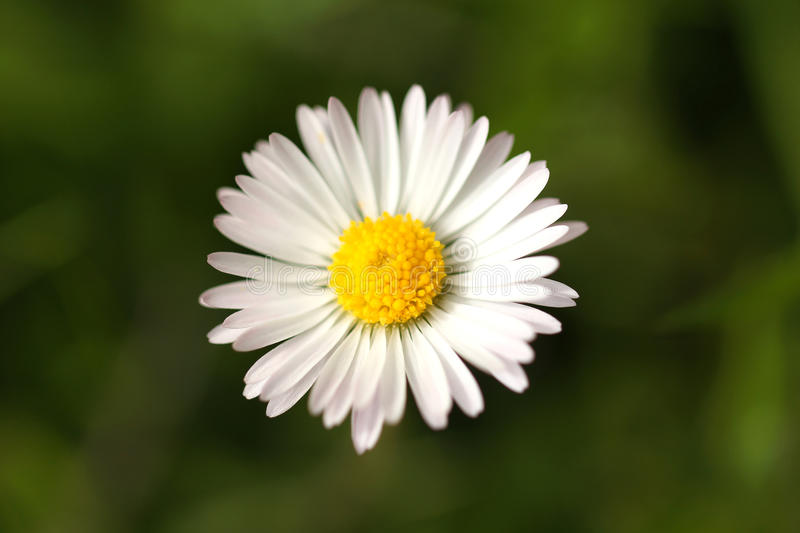 Download Lonely daisy stock image. Image of bright, sunny, white - 31473293