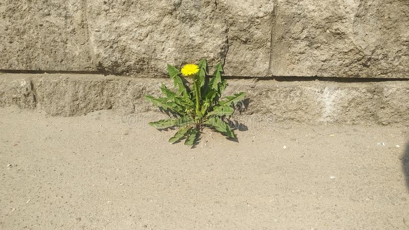 Lonely dandelion in asphalt. grass in the city royalty free stock images