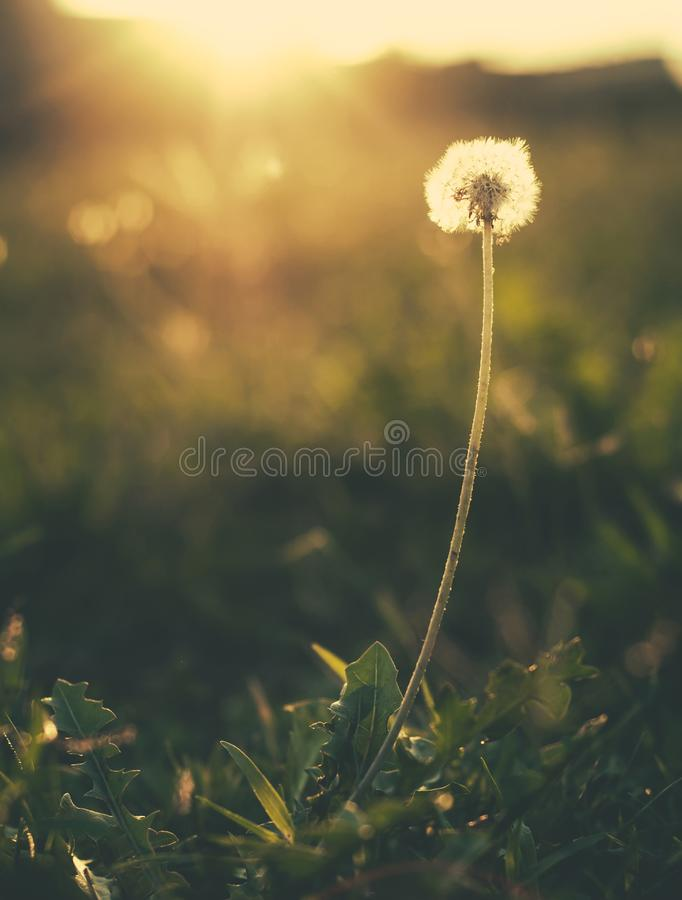 Free Lonely Dandelion At Sunset, Background Stock Photography - 103887522