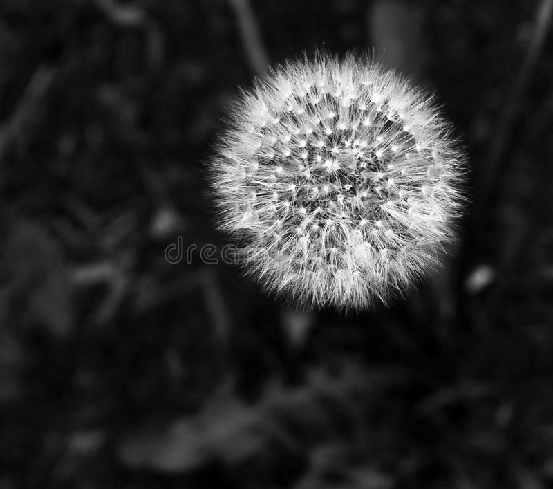 Lonely dandelion flower in contrast lighting. White on a black, blurred background-the result of a macro shot in contrast lighting stock photo