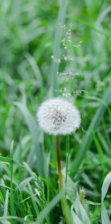 Lonely dandelion among fresh summer grass. Bright greens. Light atmosphere royalty free stock photo