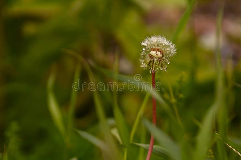 Lonely dandelion in the grass stock photography