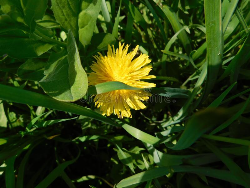 Lonely dandelion in high green grass royalty free stock image