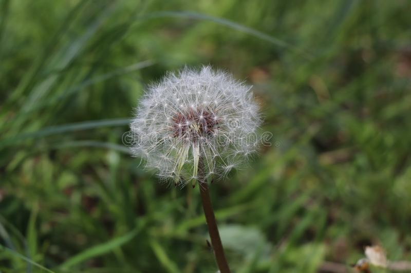 Lonely dandelion by the road in the forest royalty free stock photos
